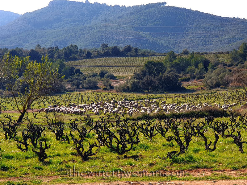 Sheep_Vineyard4_2.20.2020_TWW