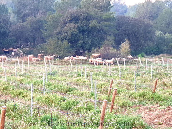 Sheep_Vineyard_2.20.2020_TWW