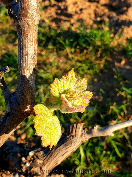 Vines2_3.7.2020_TWW
