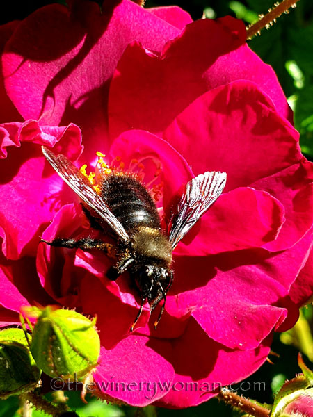Bee_Rose_4.26.2020_TWW