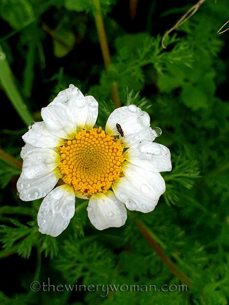Wildflower_4.20.2020_TWW