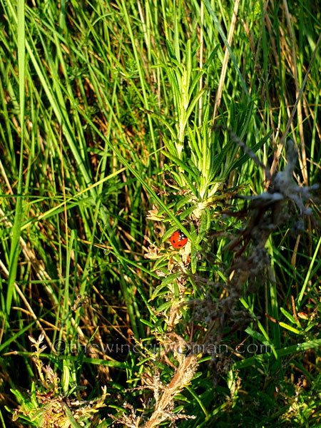 Ladybug_5.3.2020_TWW
