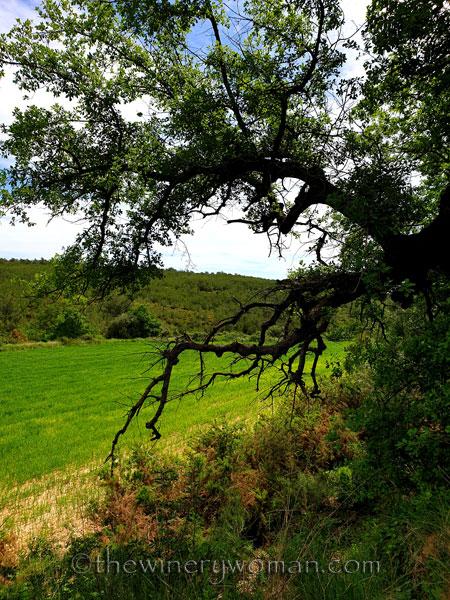 Oak_Tree_5.2.2020_TWW