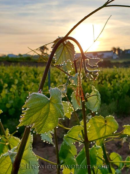 Vineyard_Dewdrops2_5.4.2020_TWW
