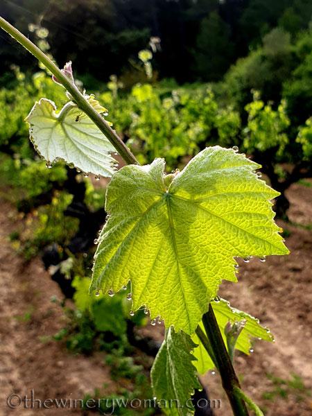 Vineyard_Dewdrops2_5.5.2020_TWW