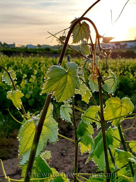 Vineyard_Dewdrops4_5.4.2020_TWW