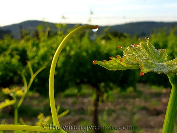 Vineyard_Dewdrops5_5.4.2020_TWW