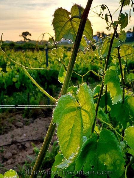 Vineyard_Dewdrops_5.4.2020_TWW