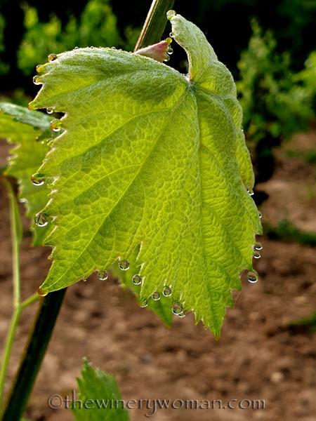 Vineyard_Dewdrops_5.5.2020_TWW