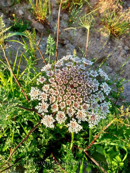 Wildflowers_5.8.2020_TWW